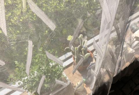 ウチワサボテン・金烏帽子の開花