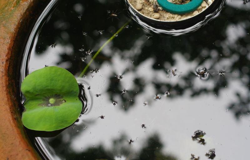 蚊(イエカ)の観察 その 4