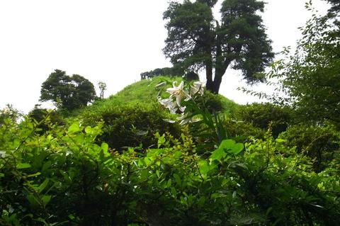 荒幡富士のヤマユリ