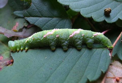 ウンモンスズメ幼虫の脚