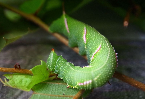 ウンモンスズメ幼虫の単眼