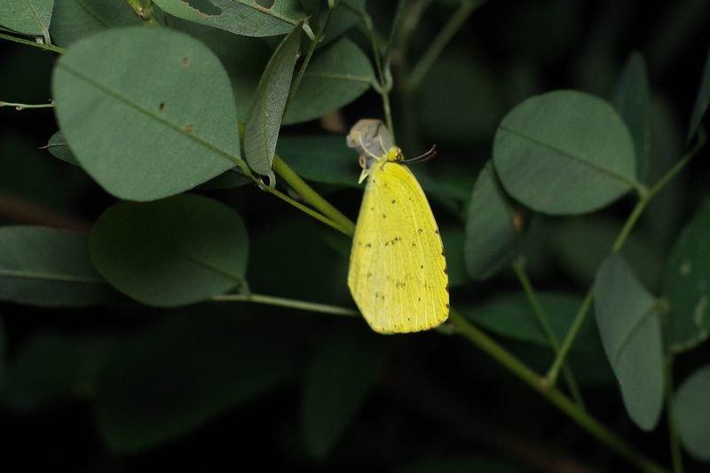 キタキチョウの羽化とキアゲハの成長