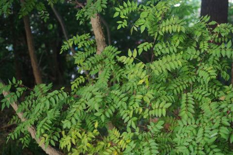 カラスアゲハ幼虫と山椒の実