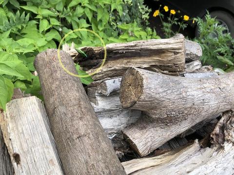 薪置き場のタマムシ