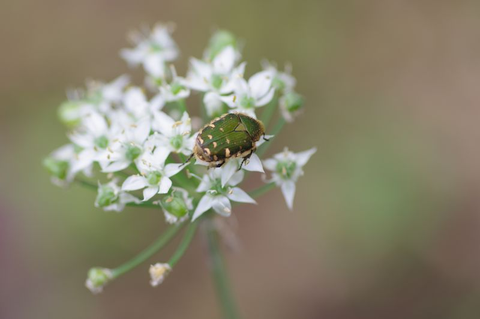 ニラの花に、虫夢中